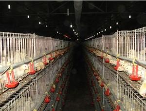 养鸡时注意通风的重要性
