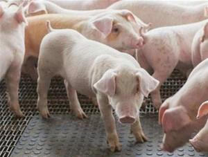 关于猪增生性肠炎知名厂家山东雷竞技电竞为您分析